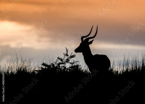 Poster Antilope African Antelope Silhouette