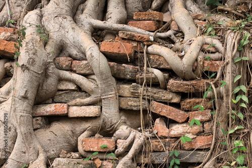 Foto  Wurzeln eines Baumbaus in der alten gemauerten Wand