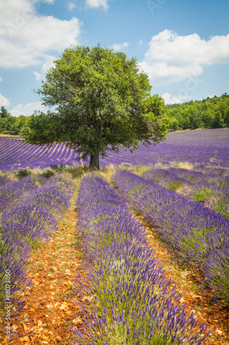 Photo  Fields of Lavender in Provence, France