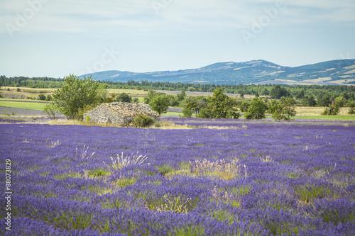 In de dag Lavendel Fields of Lavender in Provence, France