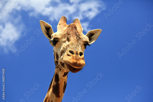 Giraffe Head Closeup Poster