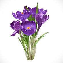 Spring Purple Crocuses On The Vine