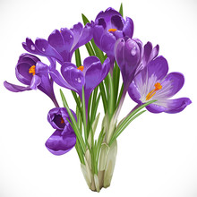 Bouquet Of Spring Purple Crocuses On The Vine