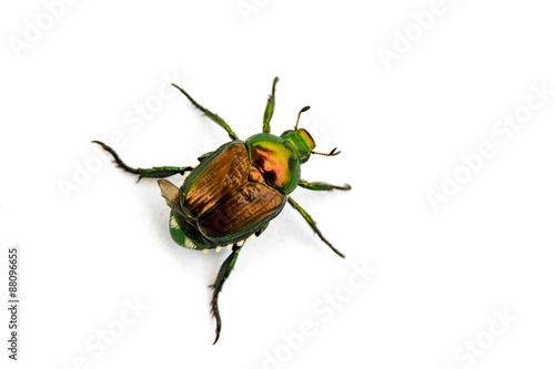 Japanese Beetle Popillia japonica Wallpaper Mural