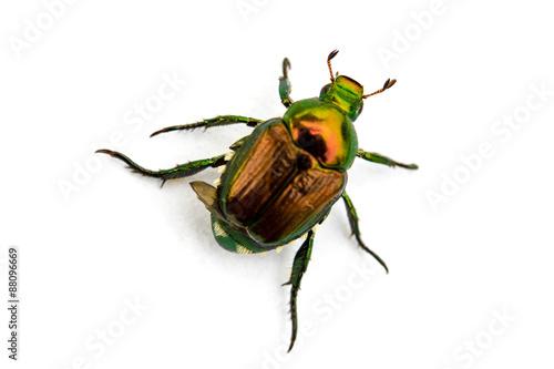 Japanese Beetle Popillia japonica Poster