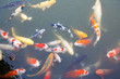 Lot of colorufl koi fishes in japanese garden