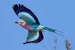 Leinwanddruck Bild - Lilac-breasted Roller in flight