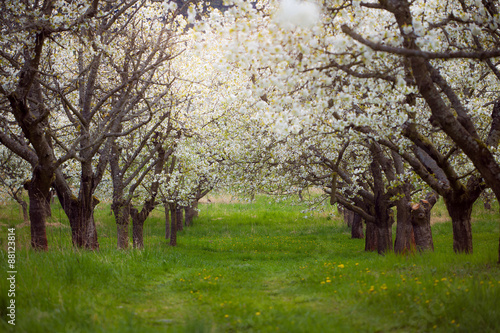 Poster Rose clair / pale Spring cherry orchard South Bohemia Lhenice