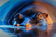 Hippopotamus  At Sunset
