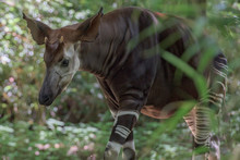 Okapi Rare African Antilope And Zebra Crossing