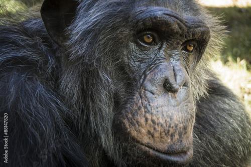 Fotografie, Obraz  Portrét šimpanz 04