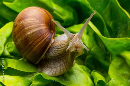 Schnecke im Salat