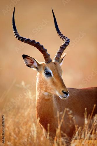 Poster Antilope Impala male portrait