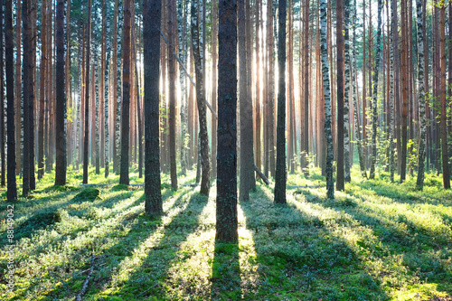 Poster Forets Sunrise in pine forest