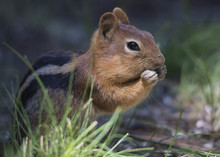 A Golden Mantled Ground Squirr...