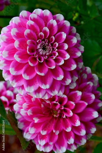 Poster de jardin Dahlia Two beautiful purple dahlia flowers