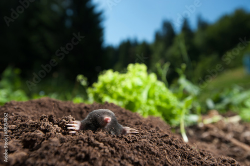 Fotografie, Obraz  Mole peeking out of it's hole in the garden