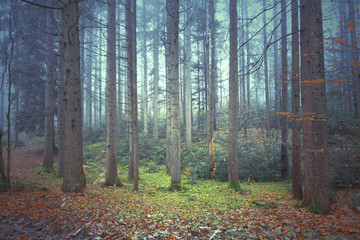 Beautiful colorful autumnal coniferous forest trees. Picture was taken in south east Slovenia.
