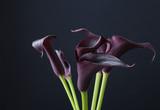 Black calla flowers (Zantedeschia)