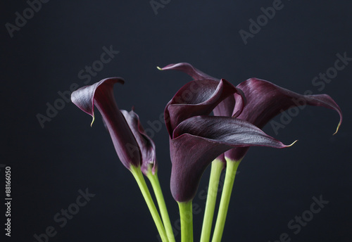 Black calla flowers (Zantedeschia) Canvas Print