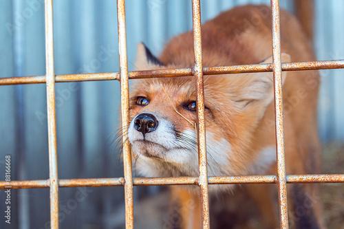 Fotografie, Obraz  fox in the cage