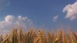 Wheat crops in field, cultivated cereal plants, ripe ears of winter wheat harvest ready.