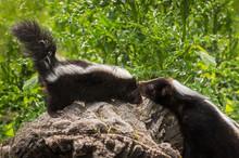 Mother Striped Skunk (Mephitis Mephitis) Checks On Her Kit