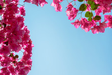 Beautiful Background With Bougainvillea And A Clear Blue Sky