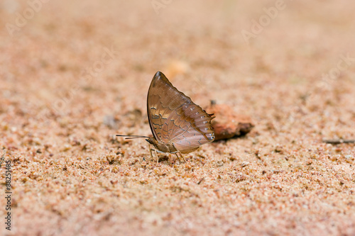 Photo  Scarce Tawny rajah eaten mineral on sand.