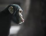 Zaskoczony szympans - 88258483