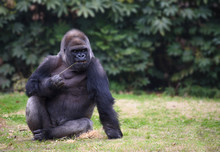 Gorilla Sitting On A Grass