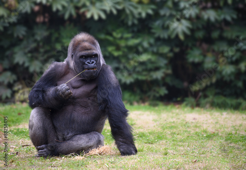 Photo  Gorilla sitting on a grass