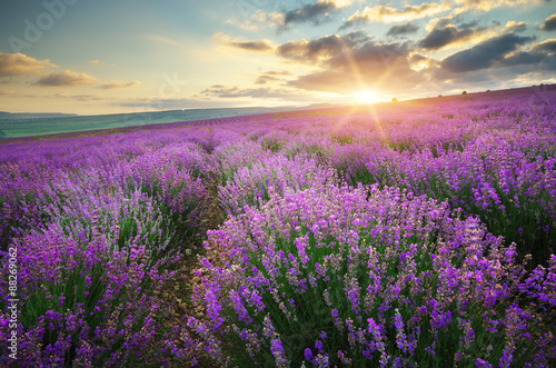 Fototapety, obrazy: Meadow of lavender.