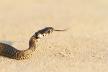 Juvenile Grass Snake On Sand