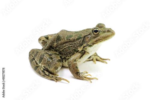 Foto op Plexiglas Kikker Green spotted frog on white background