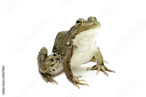 Tuinposter Kikker green marsh frog on a white background