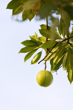 Pong Pong Tree With Fruit (Cerbera Odollam )
