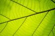 green leaf veins background, abstract blur focus
