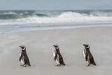 Pingwiny Magellana (Spheniscus magellanicus) wracają do morza, aby wyżywić się na wyspie Saunders, na Wyspach Zachodnich Falklandów, w Zjednoczonym Królestwie za oceanem, w Ameryce Południowej - 88303293