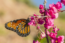 Queen Butterfly (Danaus Gilippus) On Queen's Wreath (Antigonon Leptopus), Himalaya Beach, Sonora, Mexico