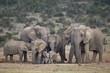 African elephant (Loxodonta africana) family, South Africa