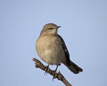 Northern Mockingbird (Mimus Polyglottos), Overton Wildlife Management Area, Overton, Nevada