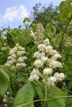 Horse Chestnut (Aesculus Hippocastanum) Flower Candelabras, Wiltshire