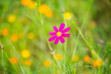 Deep Pink Cosmos Flower