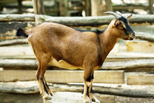 Standing Brown Domestic Goat