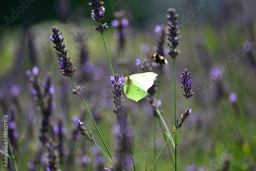 Photo Stands Butterfly Citiroenvlinder op lavendel