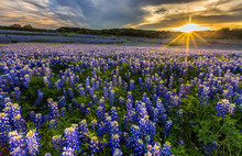 Texas Bluebonnet Field In Suns...