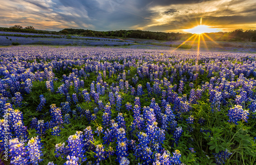 Poster Texas Texas bluebonnet field in sunset at Muleshoe Bend