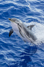 Adult Striped Dolphin (Stenella Coeruleoalba) Leaping Near La Gomera, Canary Islands, Spain, Atlantic