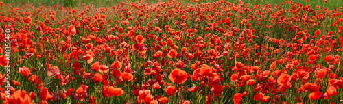 Panorama of poppy field